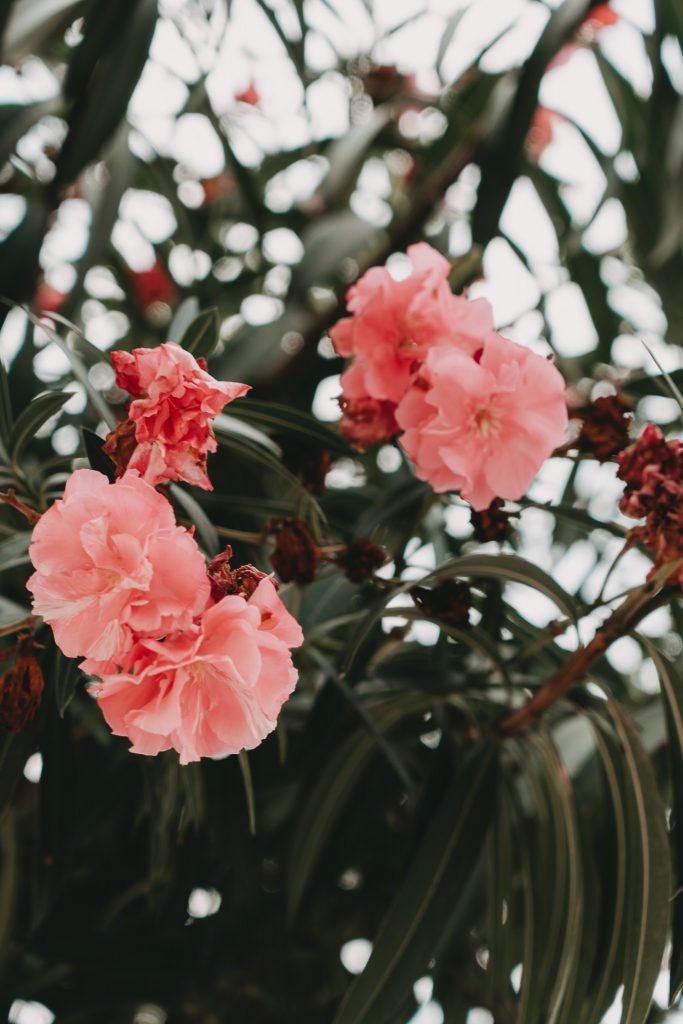 Oleander-Apulien